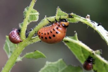 Gardeners often prefer making their own insect-pest remedies.