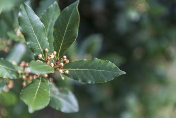 How to Grow a Bay Tree From Cuttings