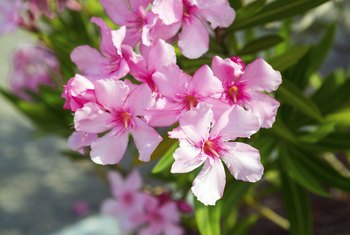 Trimming and Caring for an Oleander Bush