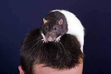 Like any other pet, rats can transmit diseases to humans.