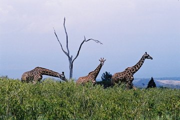 Giraffes are better off seeing and running away from predators than fending off attacks.
