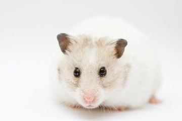 Syrian hamsters are one of the larger hamster breeds.