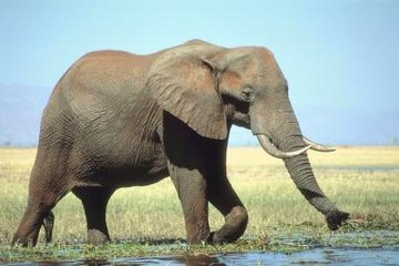 Finding water is important to an elephant's survival on the savanna.