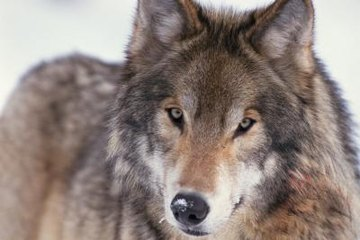 the domestication of the gray wolf Traditionally, the experts studying the evolution of modern dogs believed that domestication was a conscious effort of humans the theory was that ancient people took wolf pups from their dens, adopted them, fed them, trained and tamed them.