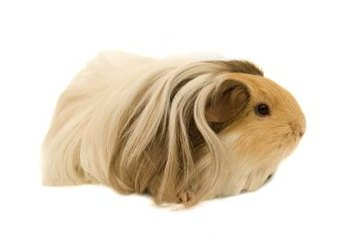 Guinea pigs can go downhill quickly when sick. Take your cavy to the vet at the first sign of illness.