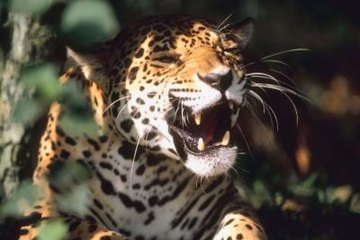The jaguar uses her large fangs to deliver the fatal blow to her prey.