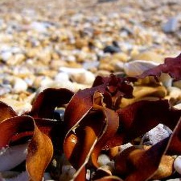 Brown seaweed may help prevent damaging effects of radiation.