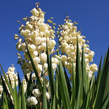 The roots of yucca plants are loaded with nutrients.