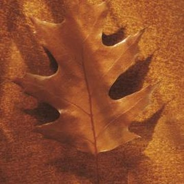 You can recognize oak leaves by their distinctive shape.