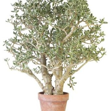 Established jade plants have stout trunks and rounded, green succulent leaves.