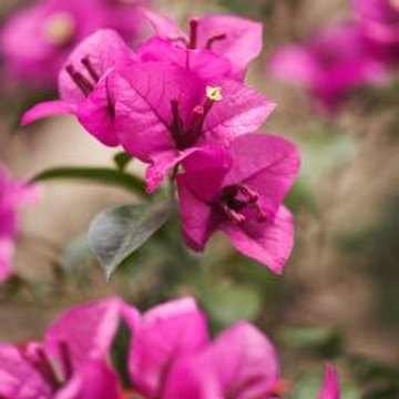 Annual repotting helps produce healthy, lushly blooming bougainvillea.