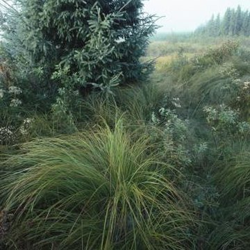 What are some ornamental grasses under three feet tall for Ornamental grasses 3 ft tall