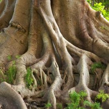Roots constitute 20 percent of a tree's total mass.