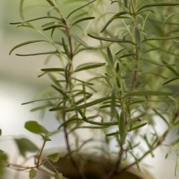 Start with a seedling or established rosemary plant.