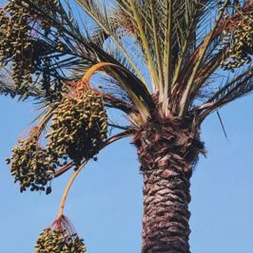 Date palms are grown for their ornamental qualities as well as delicious fruit.