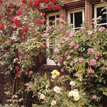 To prevent fungus, space rose bushes to allow for ample air circulation.