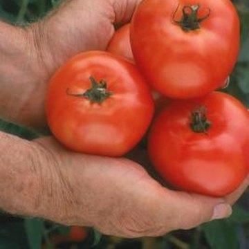 """Hawaiian Tropic"" tomatoes are adapted to areas with extreme heat."