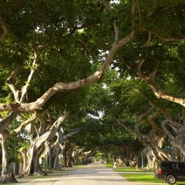Fig trees have extensive root systems.