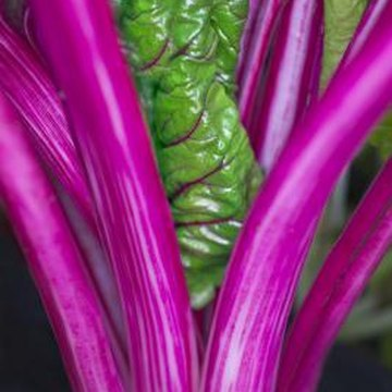 Rainbow Swiss chard brings bright colors to a winter vegetable garden.