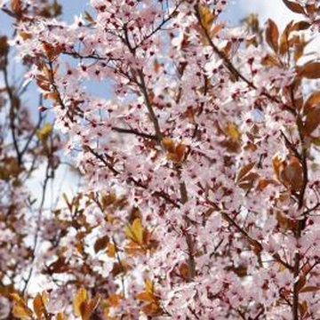 Clusters of pink flowers cover a Japanese flowering cherry tree in spring.