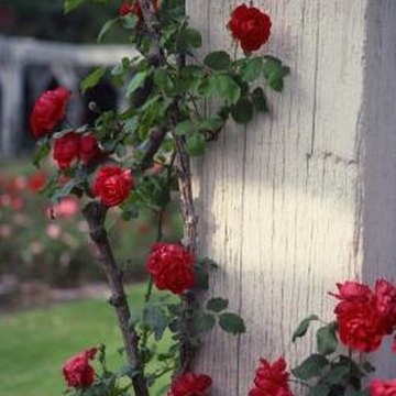 Excellent cultural care helps rose plants withstand pest activity.