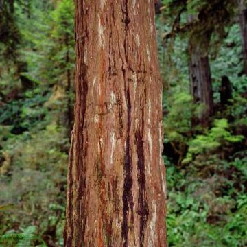The trunks of coast redwood (Sequoia sempervirens) are susceptible to Phytophthora ramorum cankers.