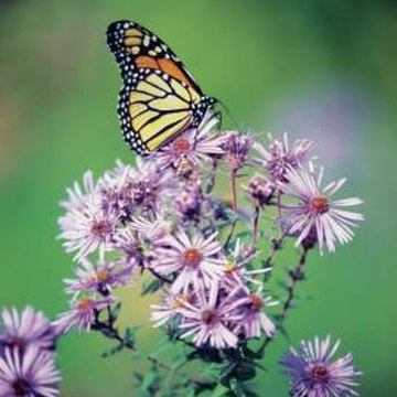 The monarch butterfly is attracted to various types of aster and milkweed.