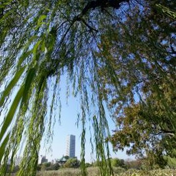 Many types of caterpillar attack weeping willow trees.