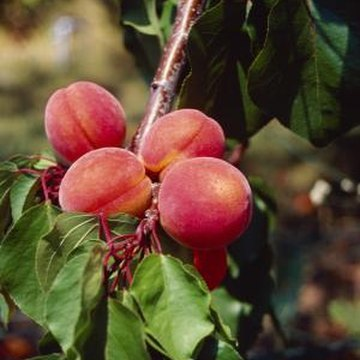Peach trees need protection from freezing weather in the spring and fall.
