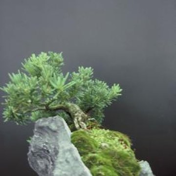 Decorative rocks and bonsai trees are staples of miniature gardens.