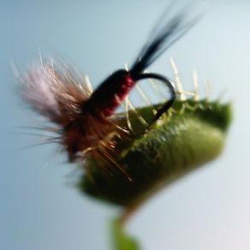 The Venus flytrap gets its nutrients by digesting insects.