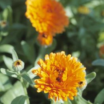 Marigolds are prized for their profusion of orange, yellow or rusty red blooms.
