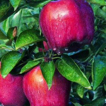 Apple trees produce more fruit when another variety is nearby.