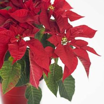 Pruning poinsettia plants encourages dense foliage and abundant blooms.