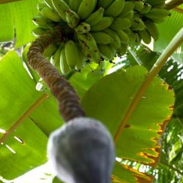 Banana trees can be fussy about fruiting.