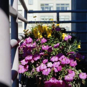 how to grow petunias in containers