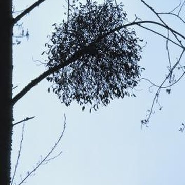 Mistletoes use root-like structures, haustoria, to absorb water and nutrients from the host's conductive tissue.