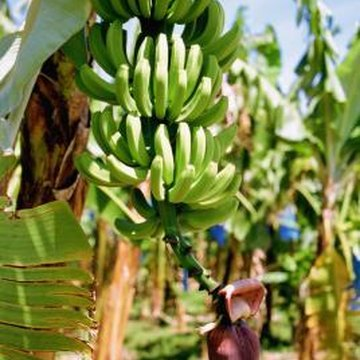 Some hybrid banana varieties are nematode-resistant.