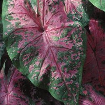 Greenhouse caladiums need rest periods for foliage to wither before tubers resprout.