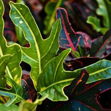Fascinating croton leaves feature a wide range of shapes and colorings.