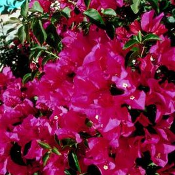 Climbing bougainvillea spreads quickly if left unchecked.
