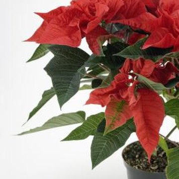 Poinsettias kept in decorative containers that have no holes require repotting.