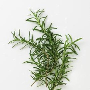 Rosemary is a strongly flavored herb often used with meat and fish.