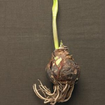 The fleshy bulb contains all the nutrients the plant needs to grow and flower.