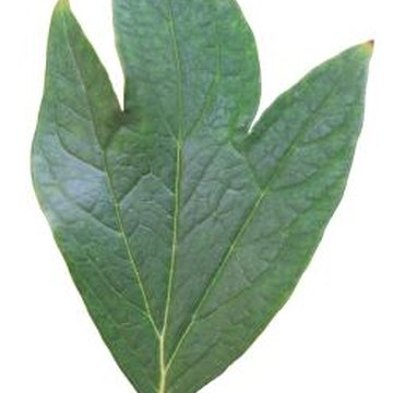 The tulip poplar's leaves are shaped nothing like a common poplar tree's teardrop-shaped ones.