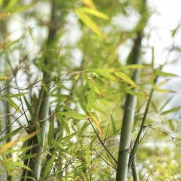 Eradicate unwanted bamboo plants before they overwhelm your garden.