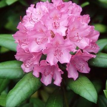 Rhododendron bears large clusters of bell-shaped flowers in June to July.