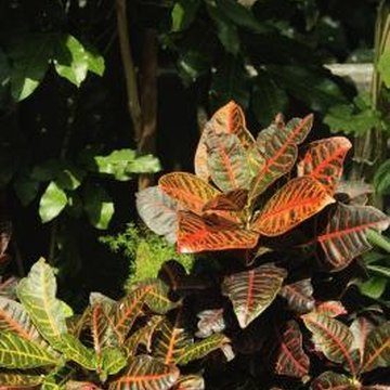 Crotons' bright variegated leaves add color to landscapes and ornamental gardens.