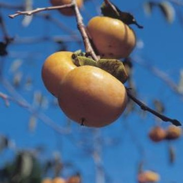 Persimmon fruit resemble tomatoes in appearance.