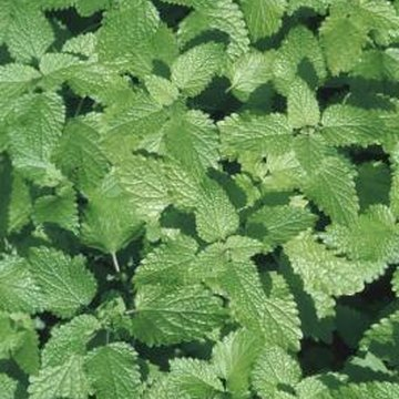 Some species of mint can safely freshen your dog's breath.